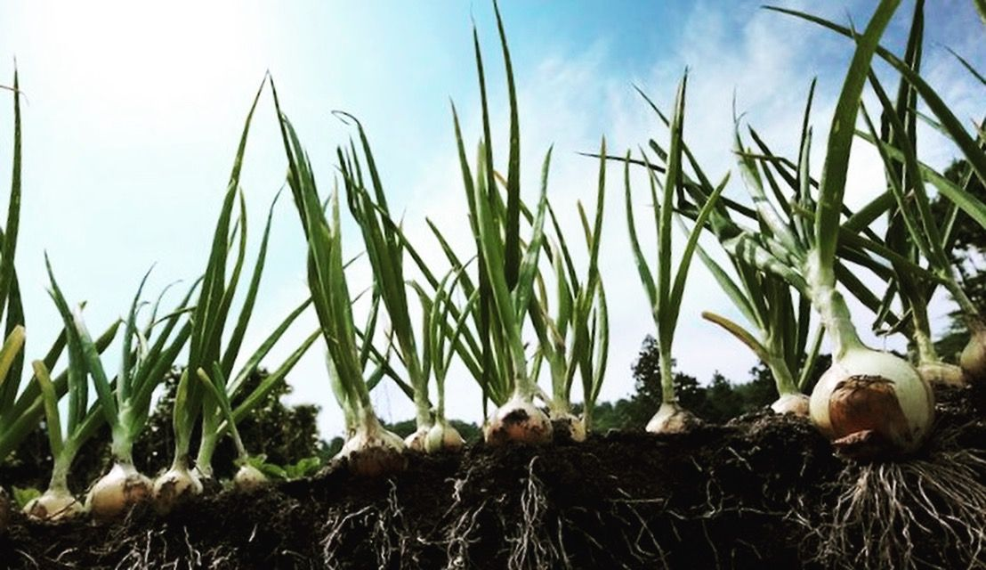 Green Onion : In most recipes calling for scallions or green ...